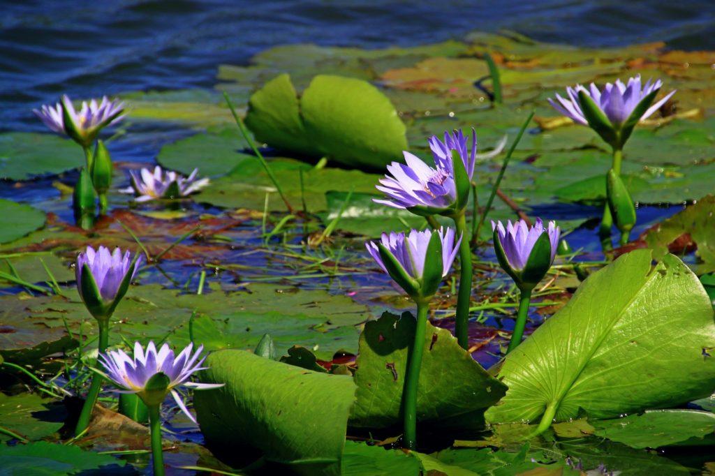Gartenteichpflanzen machen den Teich schön