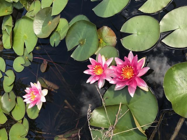 Seerosen - Blütenpracht im Gartenteich